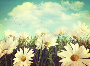 bigstock-Vintage-look-of-summer-daisies-43266181